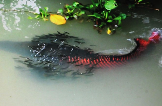 Planet s largest freshwater fish can now reproduce thanks for Freshwater pond fish