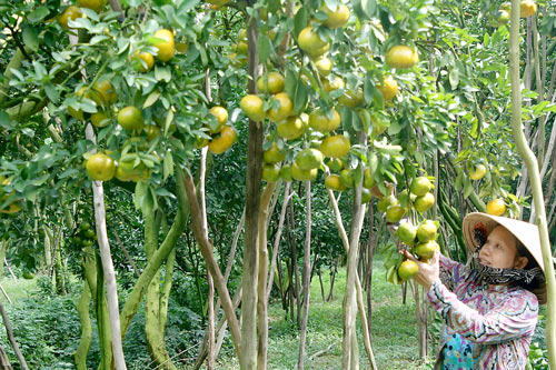 Unseasonal fruits bring high profit to farmers in Mekong Delta