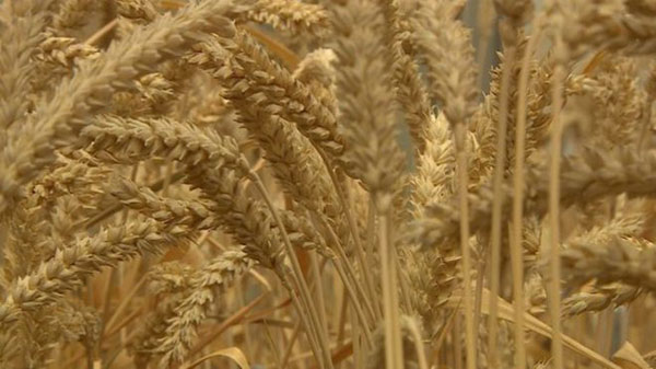 UK GM wheat 'does not repel pests'