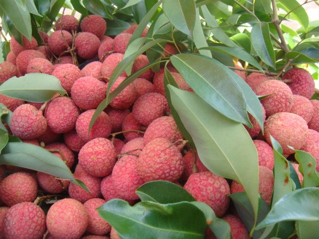 Vietnam, litchi, export markets, China