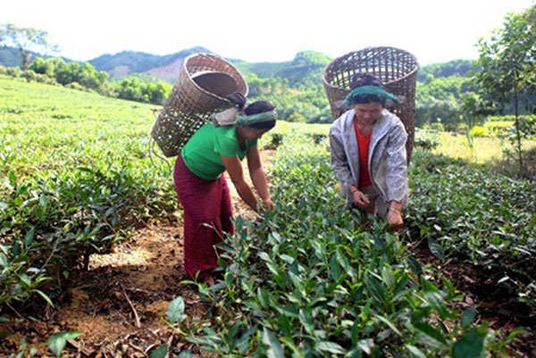 Nghe An, Ban Ve hydro-power plant, families resettled, tea plantations