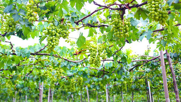 Ninh Thuan, vineyard, Ba Moi, Eurogap standards