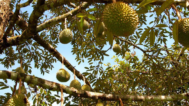 Five famous fruit gardens in Southwest Vietnam