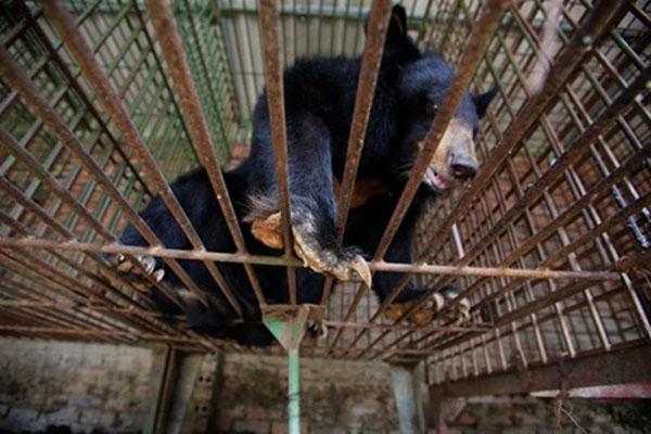 Quang Ninh, Tam Dao National Park, bear bile, bile farms