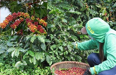 Dalat farmers abandon arabica coffee due to low profits