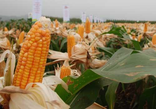 Vietnam begin planting genetically modified corn