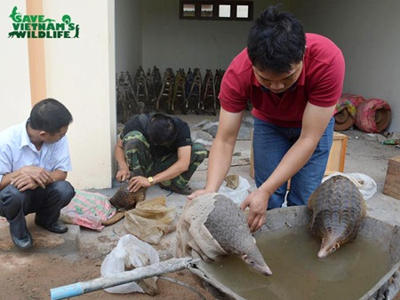 24 pangolins released into the wild