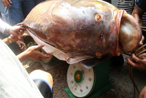 The most expensive fish in vietnam news vietnamnet for Expensive fish to eat