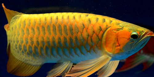 The most expensive fish in vietnam news vietnamnet for Most expensive saltwater fish