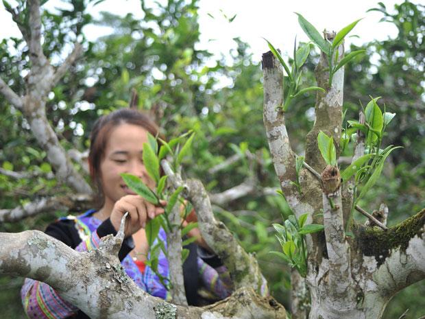 Vietnam's unique ancient Shan Tuyet tea forest in pictures, shan tuyet tea, ha giang tea, vietnam tea, vietnamnet bridge, english news, Vietnam news, news Vietnam, vietnamnet news, Vietnam net news, Vietnam latest news, Vietnam breaking news