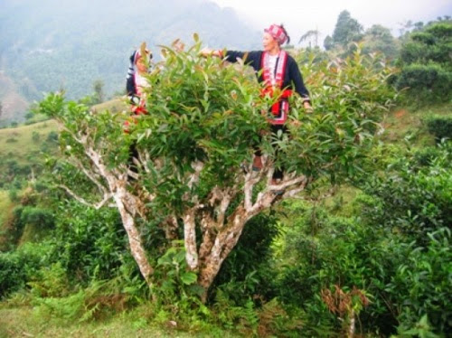 Vietnam's unique ancient Shan Tuyet tea forest in pictures, shan tuyet tea, ha giang tea, vietnam tea, vietnamnet bridge, english news, Vietnam news, news Vietnam, vietnamnet news, Vietnam net news, Vietnam latest news, Vietnam breaking news