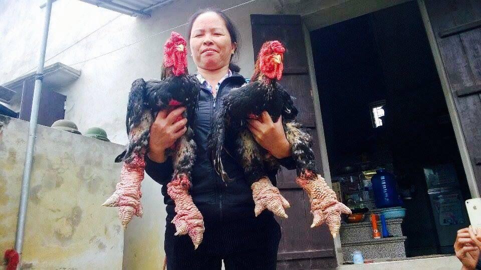 US$2,000 for a Dong Tao chicken as Tet gift, dong tao chicken, vietnam chicken, tet gifts, social news, vietnamnet bridge, english news, Vietnam news, news Vietnam, vietnamnet news, Vietnam net news, Vietnam latest news, Vietnam breaking news