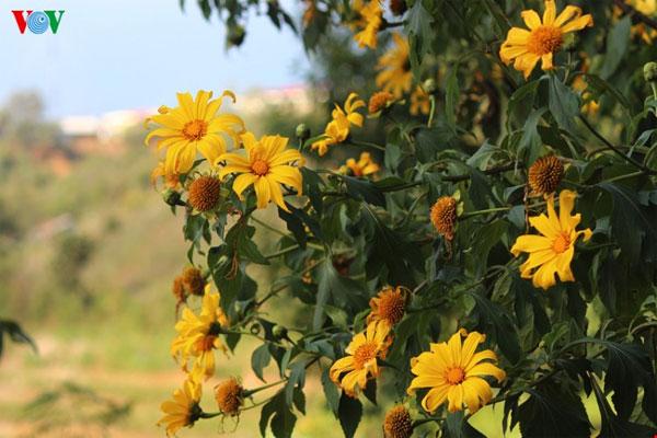 Lai Chau Vietnam  City pictures : Lai Chau, wild sunflowers, blossoming, Vietnam economy, Vietnamnet ...