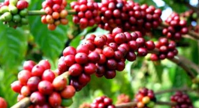 VN coffee exporters suffer decline in global market share