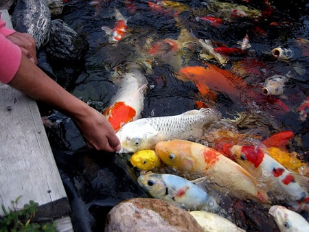 Saigon fish farmers raking in koi profits news vietnamnet for Koi carp farm
