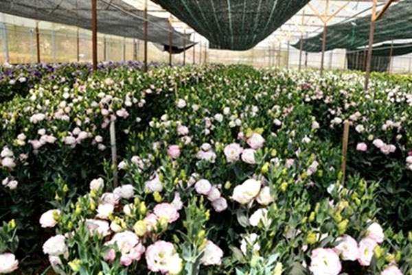 Early bloom of flowers worries Da Lat's farmers