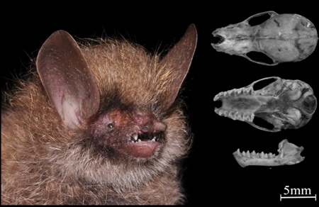 New bat species found in Central Highlands, social news, vietnamnet bridge, english news, Vietnam news, news Vietnam, vietnamnet news, Vietnam net news, Vietnam latest news, vn news, Vietnam breaking news
