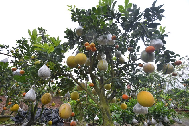 Image: New agricultural products all the rage ahead of Lunar New Year, special trees, unique trees, social news, vietnamnet bridge, english news, Vietnam news, news Vietnam, vietnamnet news, Vietnam net news, Vietnam latest news, vn news