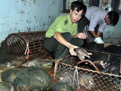 Numerous pangolins die in captivity after they are rescued