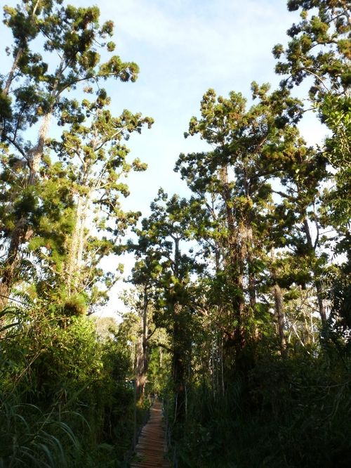 Dak Lak Yew forest revives