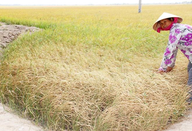 Vietnam farmers cry about dry fields, drought, saltwater intrusion, mekong delta, social news, vietnamnet bridge, english news, Vietnam news, news Vietnam, vietnamnet news, Vietnam net news, Vietnam latest news, vn news, Vietnam breaking news