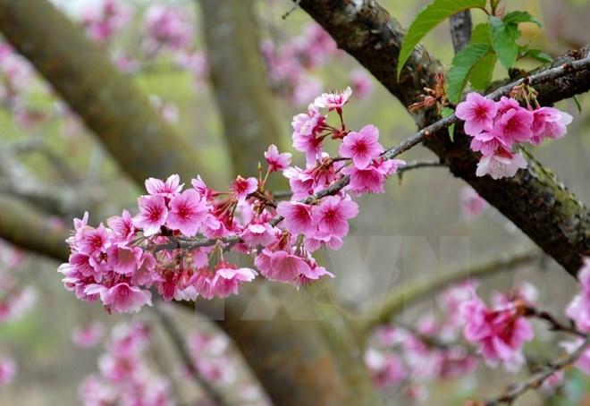 ハロン市:桜祭りが3月18日に開催