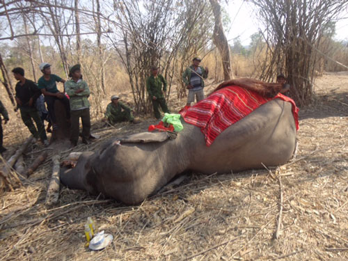 "Vietnam may have to ""borrow"" Thai elephants for breeding, buon don, don village, vn elephants, environmental news, sci-tech news, vietnamnet bridge, english news, Vietnam news, news Vietnam, vietnamnet news, Vietnam net news, Vietnam latest news, Vietnam"