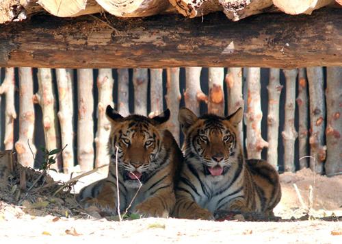 Vietnam has only five tigers in the wild, environmental news, sci-tech news, vietnamnet bridge, english news, Vietnam news, news Vietnam, vietnamnet news, Vietnam net news, Vietnam latest news, Vietnam breaking news, vn news