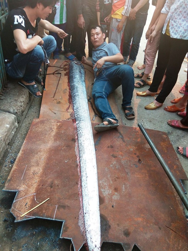 4m long giant oarfish caught in central Vietnam, social news, vietnamnet bridge, english news, Vietnam news, news Vietnam, vietnamnet news, Vietnam net news, Vietnam latest news, vn news, Vietnam breaking news