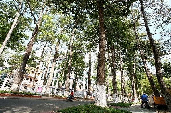 Old trees in Tra Vinh threatened: researchers, environmental news, sci-tech news, vietnamnet bridge, english news, Vietnam news, news Vietnam, vietnamnet news, Vietnam net news, Vietnam latest news, Vietnam breaking news, vn news