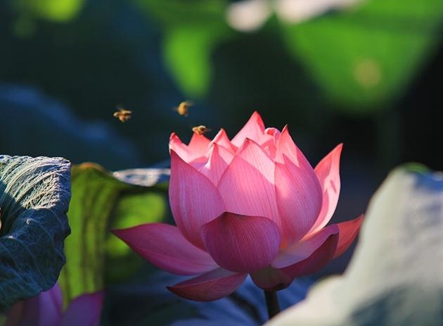 Lotus flowers in full bloom in Hanoi, social news, vietnamnet bridge, english news, Vietnam news, news Vietnam, vietnamnet news, Vietnam net news, Vietnam latest news, vn news, Vietnam breaking news