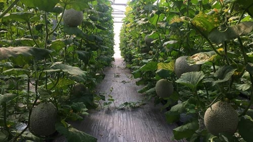 Smart agriculture produces high melon yield