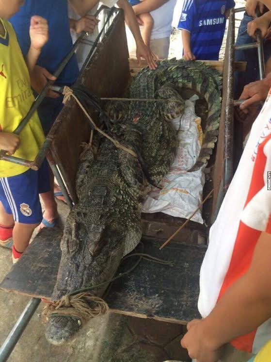 70kg crocodile caught in Hanoi, social news, vietnamnet bridge, english news, Vietnam news, news Vietnam, vietnamnet news, Vietnam net news, Vietnam latest news, vn news, Vietnam breaking news