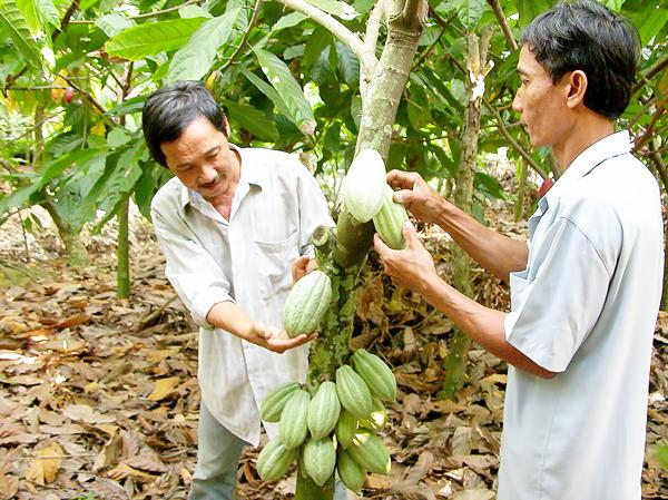 Vietnam strives to be leading cacao exporter, vietnam economy, business news, vn news, vietnamnet bridge, english news, Vietnam news, news Vietnam, vietnamnet news, vn news, Vietnam net news, Vietnam latest news, Vietnam breaking news