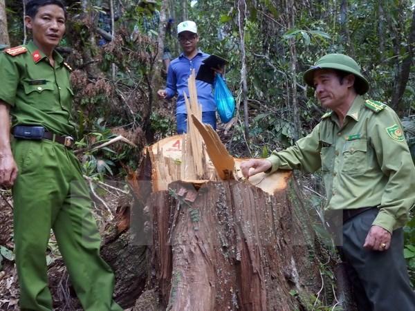 PM requests investigation into pomu forest destruction in Quang Nam, social news, vietnamnet bridge, english news, Vietnam news, news Vietnam, vietnamnet news, Vietnam net news, Vietnam latest news, vn news, Vietnam breaking news