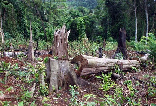 Central Highlands, restore forests, prevent illegal deforestation, Vietnam economy, Vietnamnet bridge, English news about Vietnam, Vietnam news, news about Vietnam, English news, Vietnamnet news, latest news on Vietnam, Vietnam