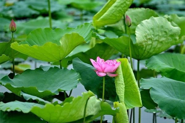 Precious lotus roots and leaves news vietnamnet vietnamese dish herbal medicines lotus leaf tea vietnam economy vietnamnet bridge mightylinksfo