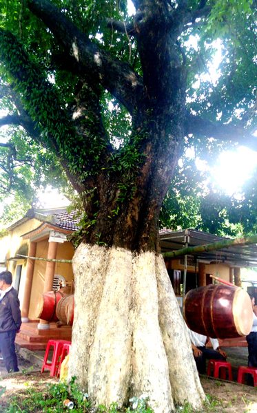 Three ancient trees recognized as Vietnam heritage tree, vietnamnet bridge, english news, Vietnam news, news Vietnam, vietnamnet news, Vietnam net news, Vietnam latest news, Vietnam breaking news, vn news