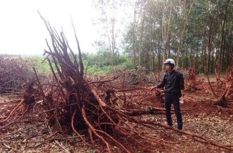 Chinese rush to Vietnam to collect rubber wood