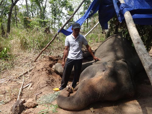 Dak Lak takes prompt action to save elephants