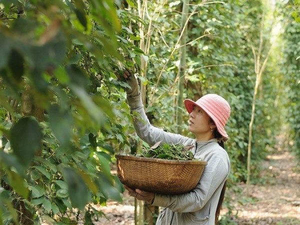 Pepper-based ecotourism promoted in Phu Quoc,  travel news, Vietnam guide, Vietnam airlines, Vietnam tour, tour Vietnam, Hanoi, ho chi minh city, Saigon, travelling to Vietnam, Vietnam travelling, Vietnam travel, vn news