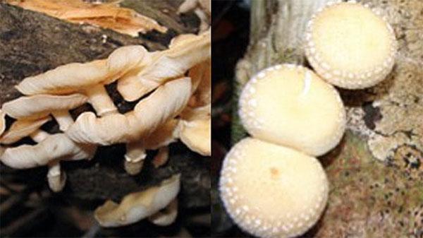 Cat Tien National Park, new shiitake mushroom species, found, Vietnam economy, Vietnamnet bridge, English news about Vietnam, Vietnam news, news about Vietnam, English news, Vietnamnet news, latest news on Vietnam, Vietnam
