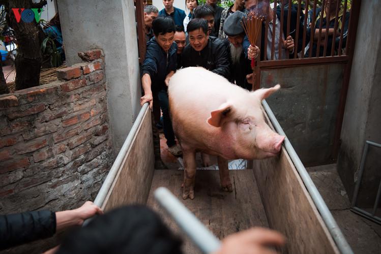 Pig procession festival in La Phu village
