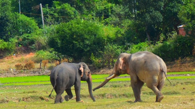 Elephant pregnancy expected to help preserve herds in Dak Lak