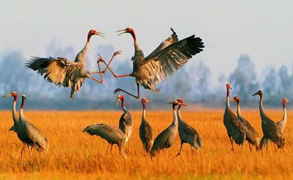 Red-headed cranes, Phu My Reserve, Kien Giang, Vietnam economy, Vietnamnet bridge, English news about Vietnam, Vietnam news, news about Vietnam, English news, Vietnamnet news, latest news on Vietnam, Vietnam