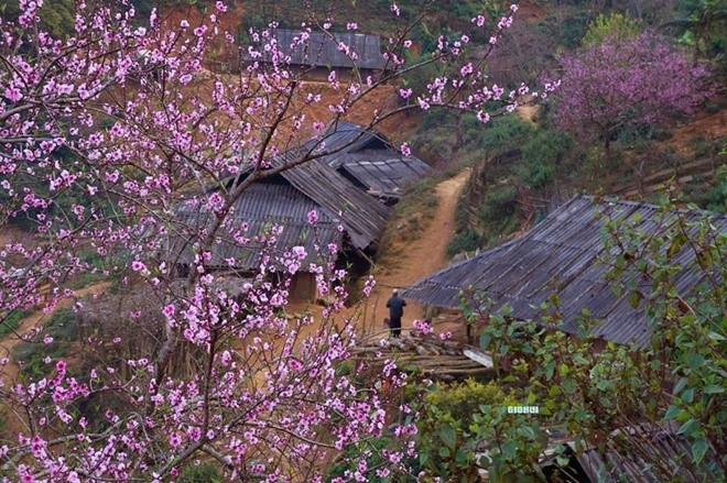 The peach blossoms in Ta Xua