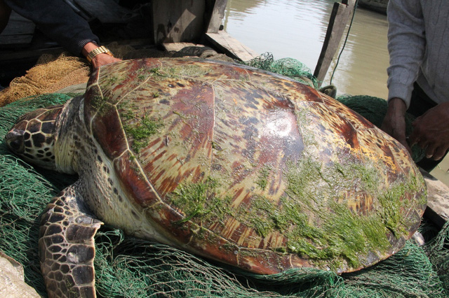 Giant sea turtle released by Ha Tinh fisherman, environmental news, sci-tech news, vietnamnet bridge, english news, Vietnam news, news Vietnam, vietnamnet news, Vietnam net news, Vietnam latest news, Vietnam breaking news, vn news
