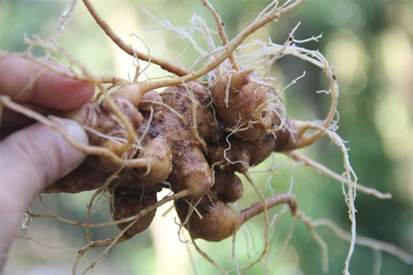 Quang Nam, Ngoc Linh Ginseng Festival, Vietnamese ginseng growers , Vietnam economy, Vietnamnet bridge, English news about Vietnam, Vietnam news, news about Vietnam, English news, Vietnamnet news, latest news on Vietnam, Vietnam
