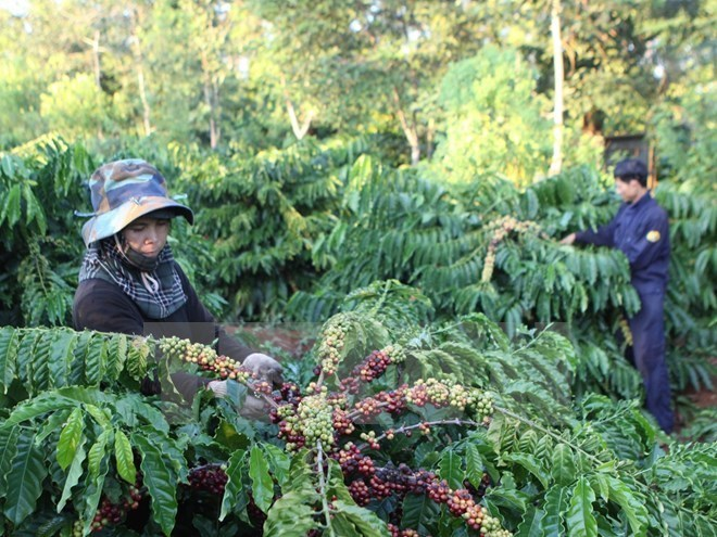 vietnamnet bridge, english news, Vietnam news, news Vietnam, vietnamnet news, Vietnam net news, Vietnam latest news, Vietnam breaking news, vn news, coffee, Dak Lak
