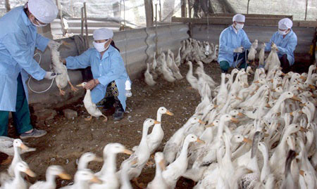 vietnamnet bridge, english news, Vietnam news, news Vietnam, vietnamnet news, Vietnam net news, Vietnam latest news, Vietnam breaking news, vn news, avian flu